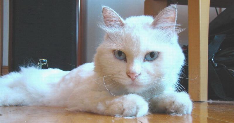 猫咪,临清狮子猫|彩铅画