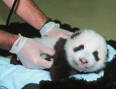 熊猫宝宝诞生成长全过程组图 图 ZT