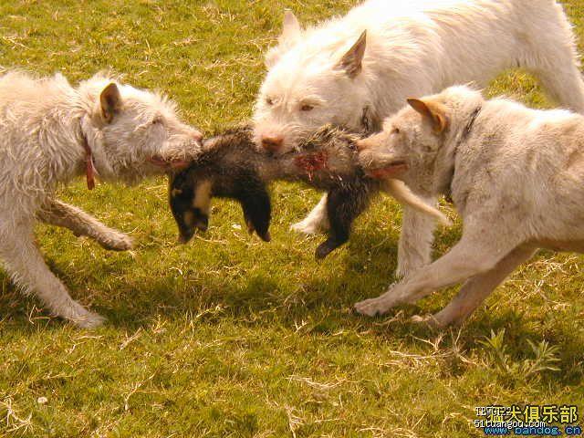 近喜欢上了一种中国本土猎犬 下司犬