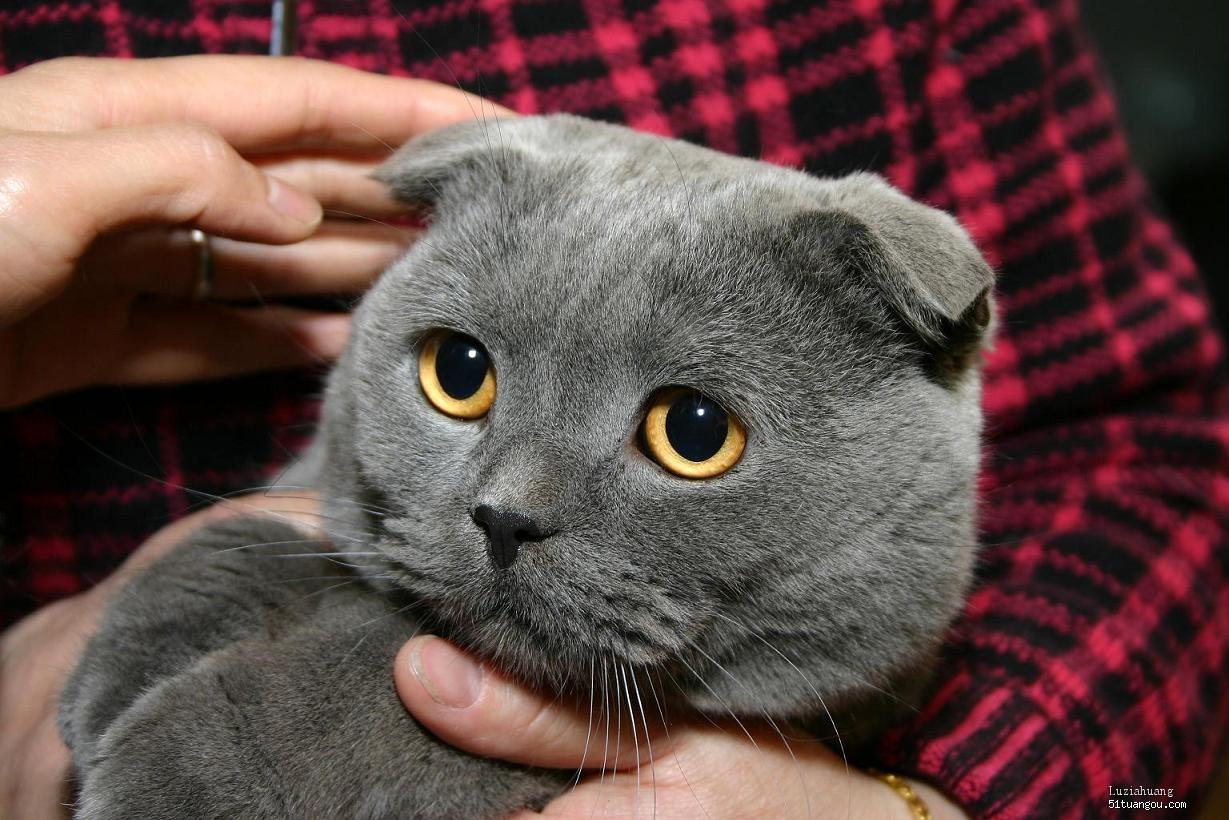 7月27日出生的苏格兰折耳猫猫,折耳宝宝都找到