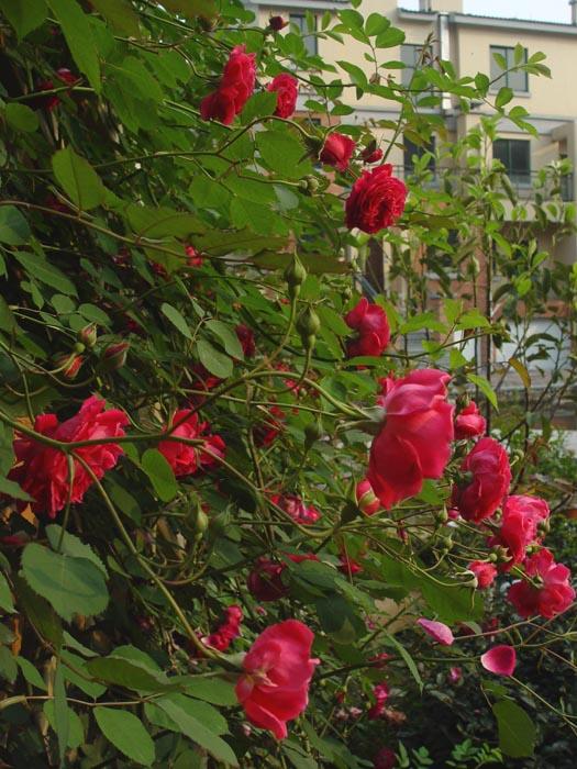 2009年,春天的花园@@小铁陆续开放,春花朵朵开