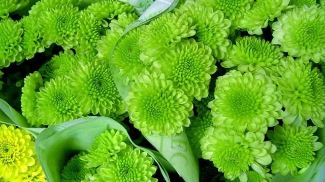 主题:请问这是什么花?绿色小菊样子的!