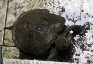 我家的小乌龟 不知啥品种,请各位来鉴定一下