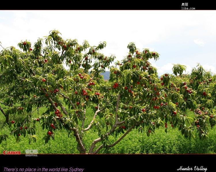 桃树林,树上结满了红彤彤的小桃子,很诱人