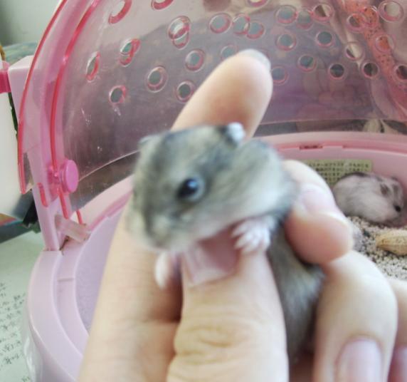 我家的呆呆和懒懒(苍鼠篇) 小银子领养,已经断奶会吃了