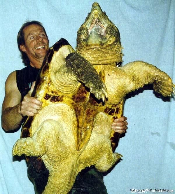 小鳄龟,最大能长成什么样 据说大鳄能长到一头猪那样