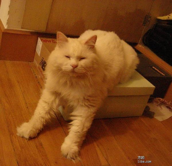 临清狮子猫价格_原来meimei是山东临清狮子猫!