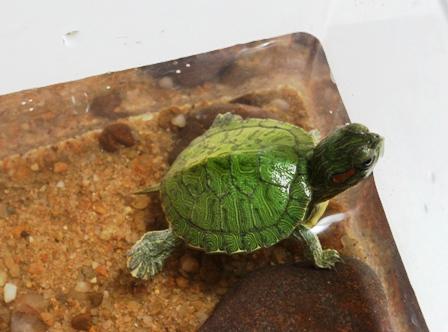 求教 给巴西龟布置冬眠的窝