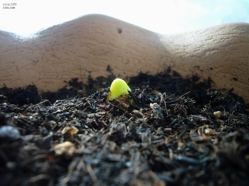 种子发芽过程简笔画》文竹种子刚发芽图片》多肉种子