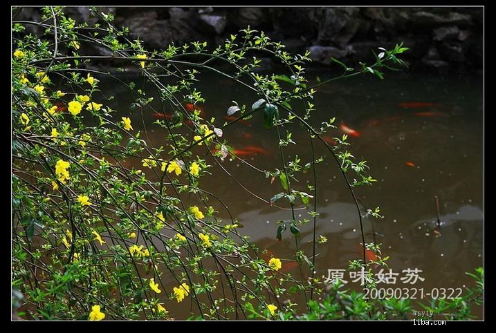 边池垂着迎春花.