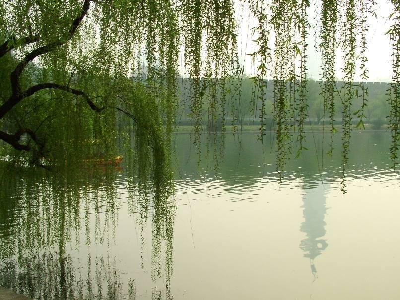 壁纸 垂柳 风景 柳树 摄影 树 桌面 806_605