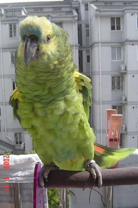 的宠物鸟 黄翼蓝帽图片