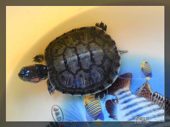 我家的两龟龟冬眠中 我家的鱼儿们 第96楼 园艺天地