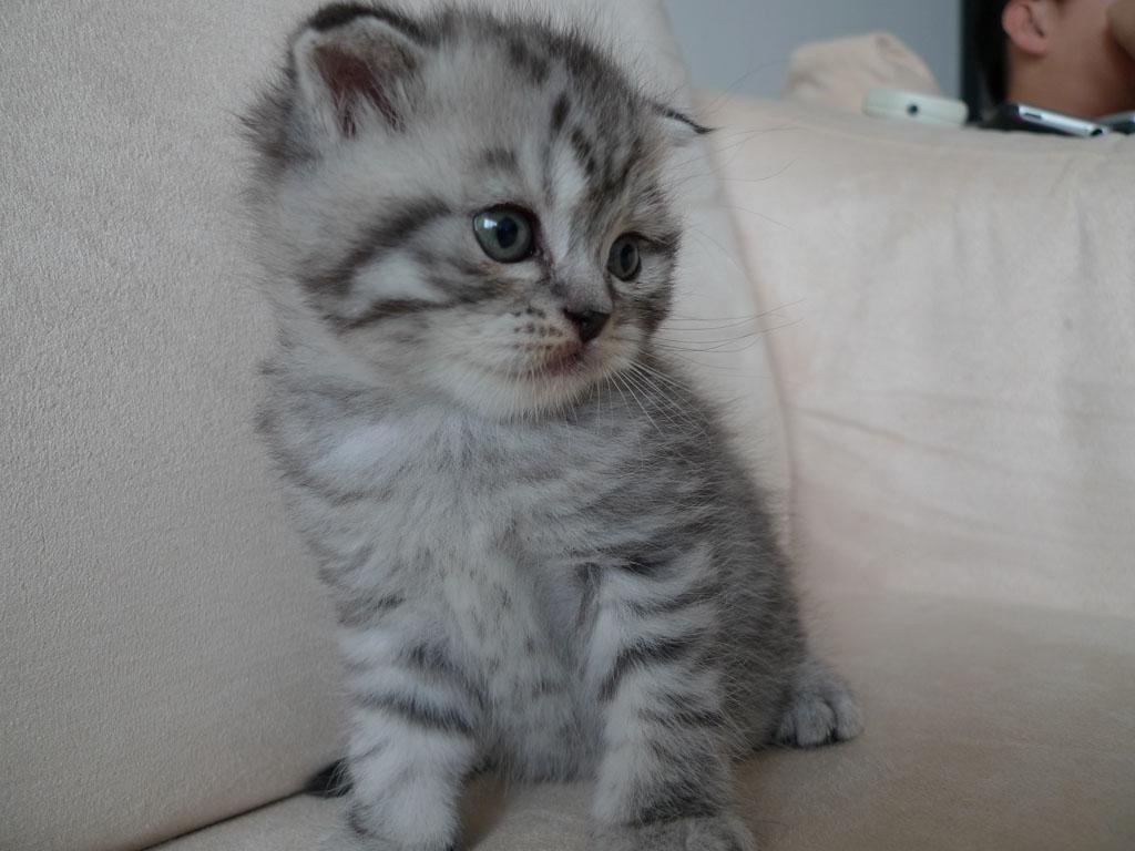 折耳短毛+4周大英国蓝猫宝贝~超级可爱~照片更新中