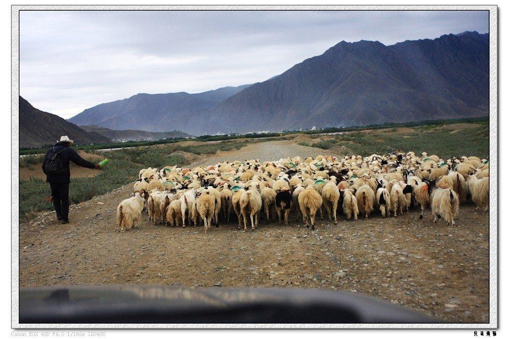 再次碰上可爱的羊群.