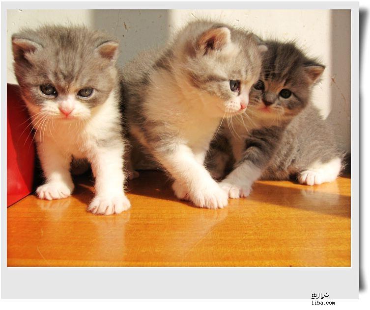 三个可爱的小精灵,我的折耳猫宝宝