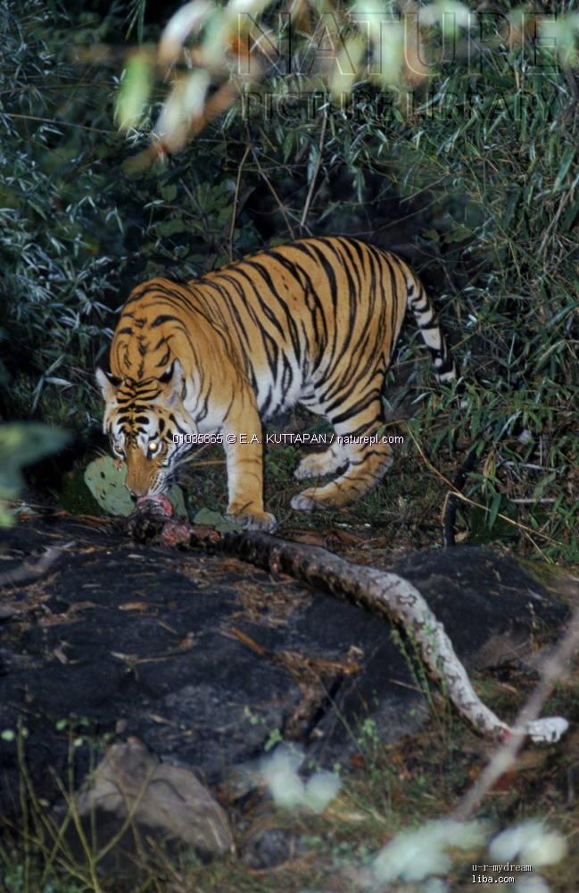 老虎vs大蟒蛇