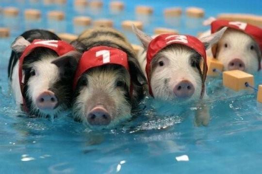贝克汉姆养的宠物猪竟然可以可爱到这个程度 -转生活杂志的图片