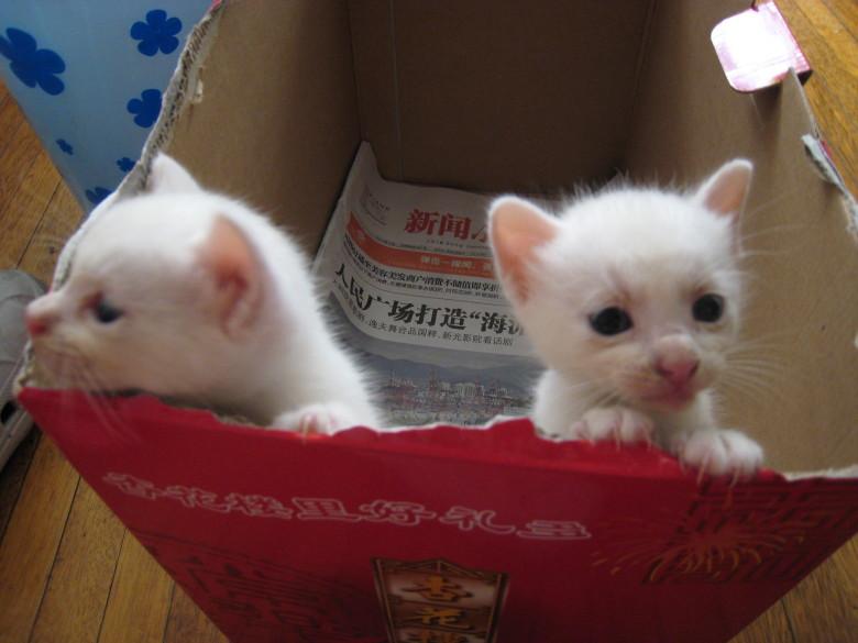 两只小白猫找新家
