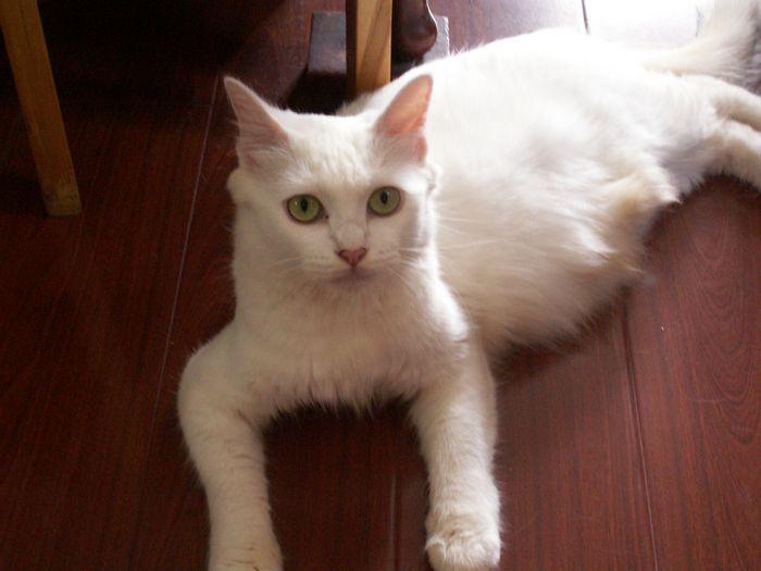 【上海猫猫找领养】超可爱小奶白猫求包养咯!p8上!