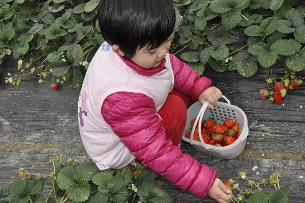 采草莓的小姑娘