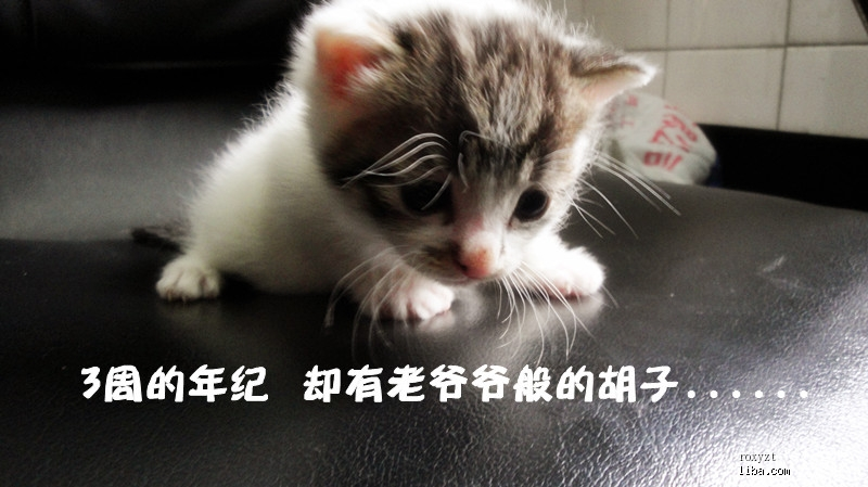一个多月的咪咪找领养~~~~~ 妈妈是流浪猫,这个妈妈养了两个小猫,一个是白加黑 ,一个是小三花~~~ 送养之前会保证体外驱虫,教会用猫砂,现在两个小东西都非常活泼能吃 二号:东东,白色加黑色斑纹,应该是男生,现在长得非常胖乎乎的,差不多是奶茶的一倍了,声音洪亮了不得了,绝对和体型成正比 领养要求: 吃猫粮用猫砂,不散养 有固定住所,收入稳定 联系方式 QQ176538823 MSN:zhangting860421@hotmail.