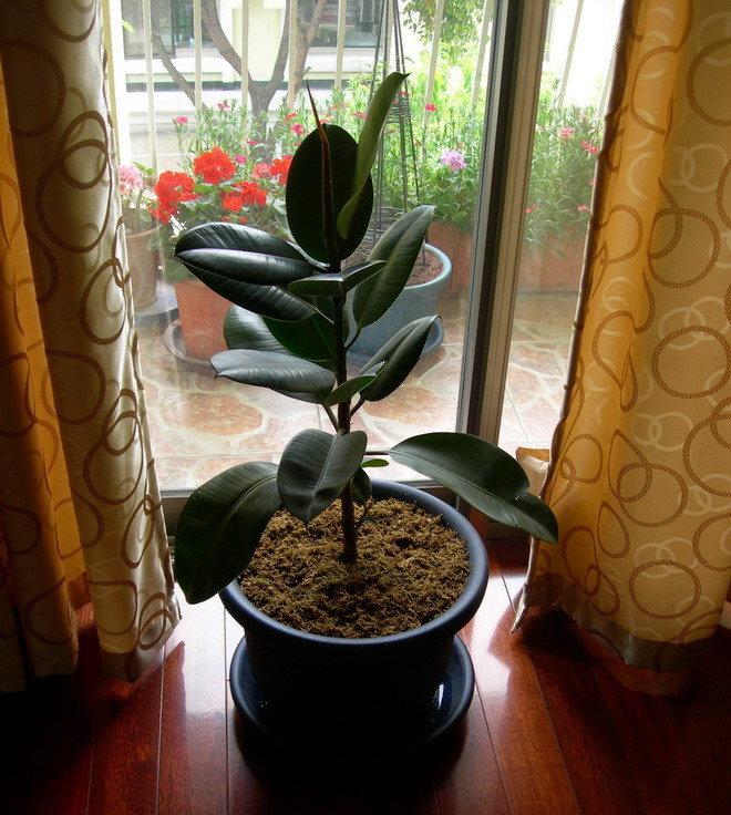 耐心当然有,不过那个位置的西番莲,已经2年多了,一点没有大的动静。 常春藤是皱叶的,但拍上去不很皱 地栽石竹,是个很好的建议,计划种那个小花坛里,花期比菊花长很多呢。 木质化,其实是黄玛长大并适应了环境,可以适度修剪,现在已经不敢大剪了,入冬后修剪的黄玛目前都没有发芽,哎。 今天收到了五月花带回来的【伊萨哥】,刚才又开门去看了花蕾和叶子,开心。