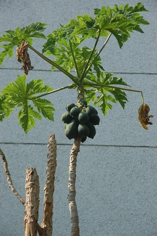 每家每户都种的木瓜树