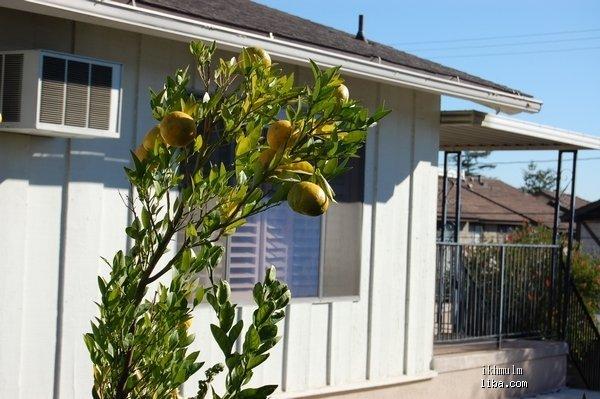 楼下邻居的桔子树长到咱阳台上来了