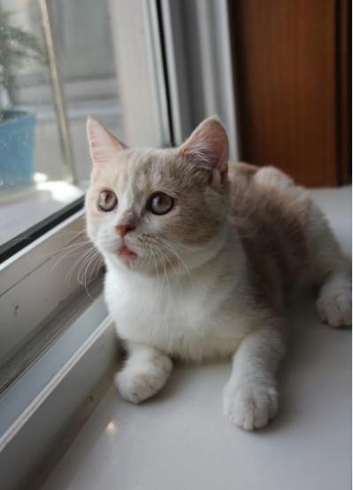 寂寞的蓝猫 可爱纯种猫咪找新家 自家繁育100%健康 100%纯种 因为有爱