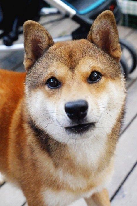 柴犬动态狗头表情别表情包找了图图片