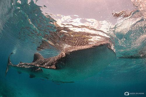 米沙鄢群岛-宿务整岛自驾游 (苏米龙的鲸鲨 + 马丹岛crimson + 索戈