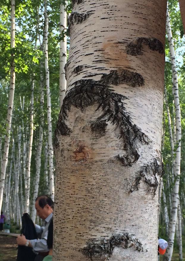 """著名的""""女神"""" 白桦树皮天然纹路形成."""